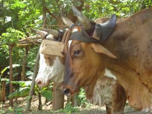 ox cart costa rica