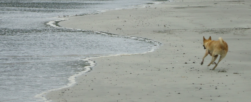 dog at carrillo beach, playa carrillo, costa rica