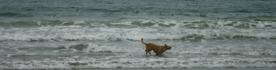 dog at carrillo beach, playa carrillo, samara