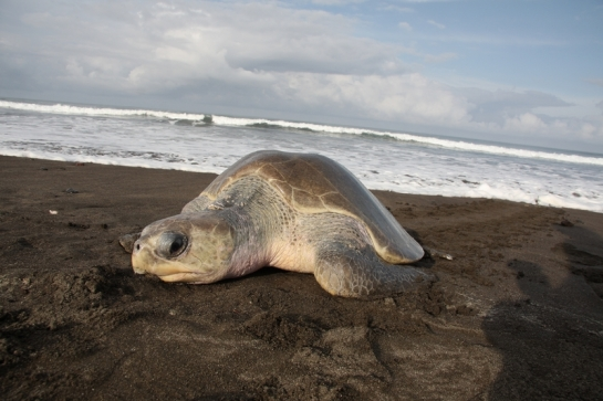 Olive Ridley Turtle nesting