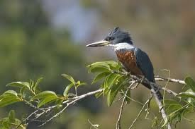 Ringed Kingfisher, Ceryle torquata