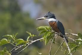 Ringed Kingfisher, Ceryle torquata