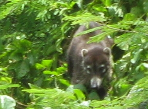White-nosed Coati, nasua narica