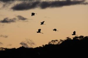 Roseat Spoonbills