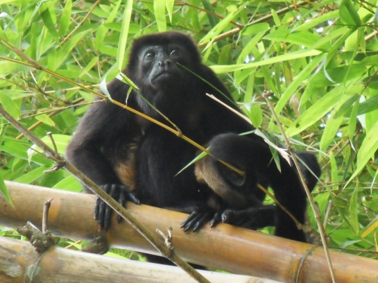 pictures of howler monkeys