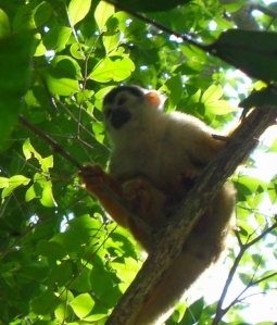 White-face, Spider, Squirrel and Howler monkeys all entertained us along the way.