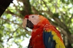 The Red Macaws are unmistakable.