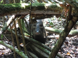 We could usually smell the peccaries before we saw them.