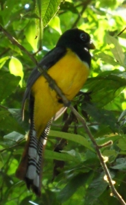 Black Headed Trogon