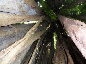 Inside this strangler fig (matapalo) is the space left by the host tree, which is long gone.