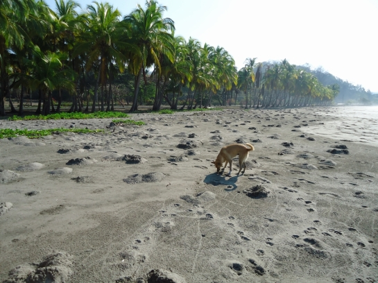 costa rica beach crab nesting