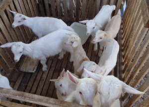 goats in costa rica