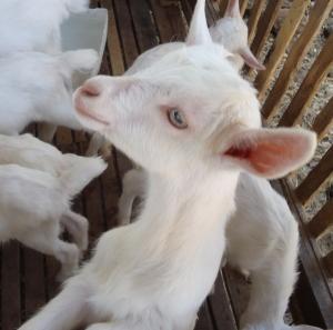 goat cheese in costa rica