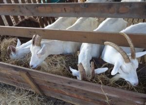goat yogurt in costa rica