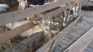 costa rican goats