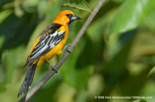 Streak-backed Oriole Costa Rica