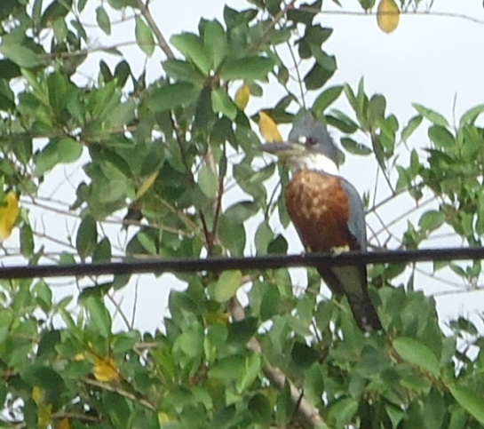 Ringed kingfisher in laya samara costa rica