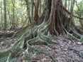 tree roots in costa rica