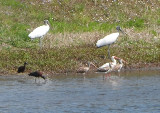 Wood Storks, Glossy Ibis, and White Ibis