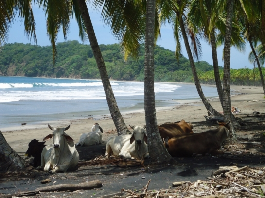 cows on a costa rica beach