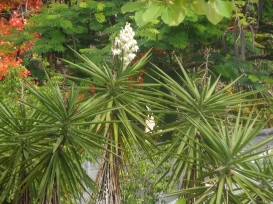 Yucca flowers Itabo