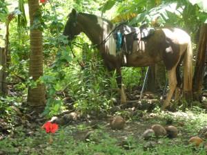 costa rica horse