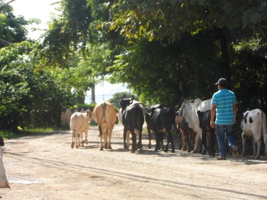 b- cows 4