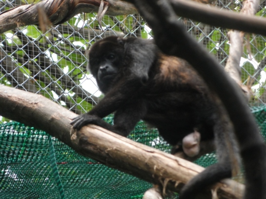 howler monkeys costa rica