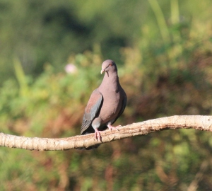 red-beaked pigeon