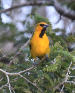 b1- streak-backed oriole 4