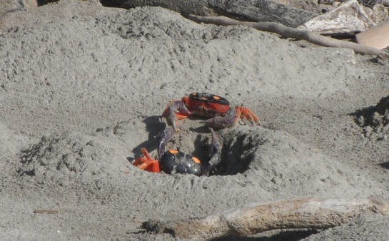 crabs costa rica