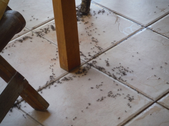 costa rica cleaner ants