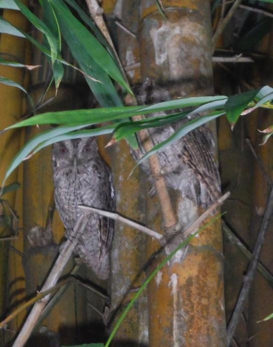 pacific screech owl costa rica