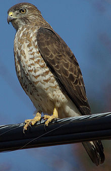 220px-Julie_Waters_broad_winged_hawk