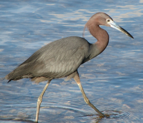 Little_Blue_Heron 2